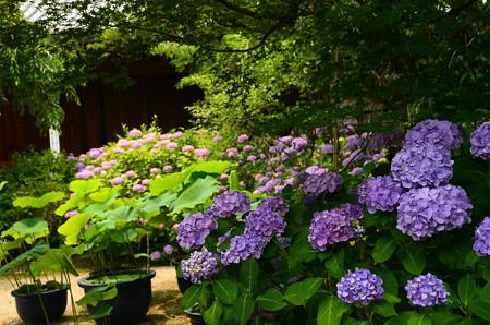 満開の紫陽花