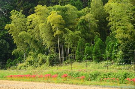 竹林前の彼岸花