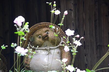 秋明菊を眺める狸