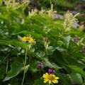 Photos: 乗鞍岳高山植物