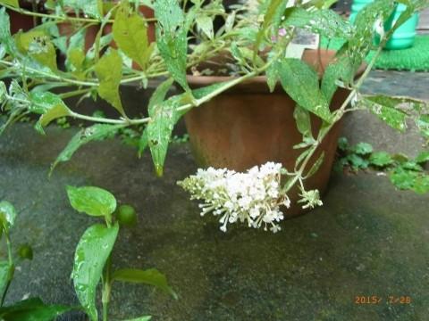 ブッドレアの2番花