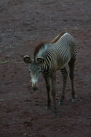 シマウマの赤ちゃん 生後4ヶ月