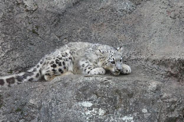 多摩動物公園111029-ユキヒョウの子供達 アサヒちゃん-09