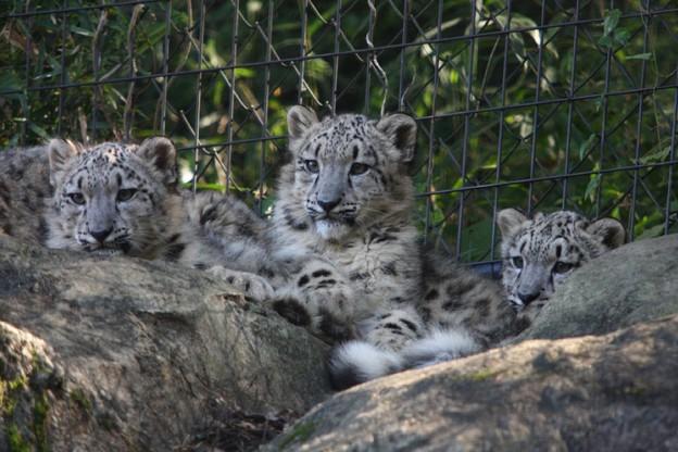 多摩動物公園111029-ユキヒョウの子供達 左からアサヒちゃん-スカイくん-エナちゃん-01.JPG