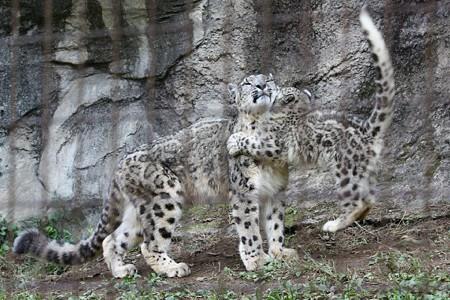 多摩動物公園111029-ユキヒョウの子供達 ママ~ッ2-01