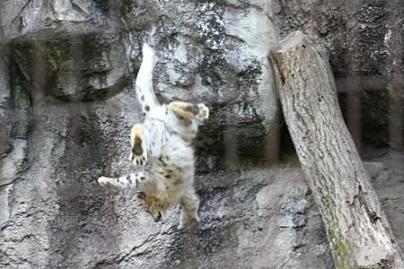 多摩動物公園111029-ユキヒョウの子供達 ムササビジャンプ4-03