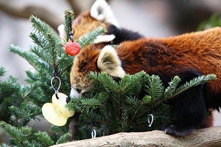 多摩動物公園111225-レッサーパンダ-10