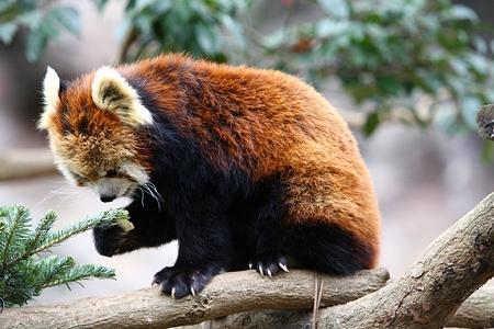 多摩動物公園111225-レッサーパンダ-43