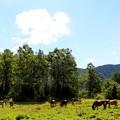 放牧木曽馬