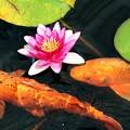 Photos: 睡蓮と錦鯉