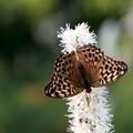 トガクシシヨウマと蝶