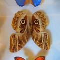 み-さん蝶