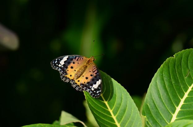写真: タテハチョウ科 ツマグロヒョウモン♀