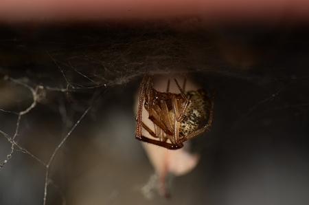 ヒメグモの仲間