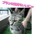 Photos: 2005/7/2【猫写真】ブラシ最高にゃ!