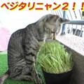 Photos: 2005/7/31【猫写真】べじたりにゃん2!
