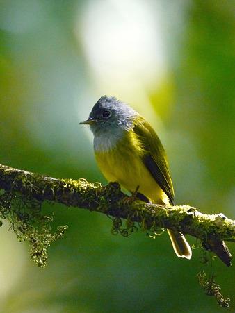 ハイムネヒタキ(Grey-headed Canary Flycatcher) P1050429_R2