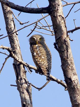オオスズメフクロウ(Asian Barred owlet) P1150961_R