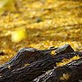 写真: 『黄色の絨毯。。。』