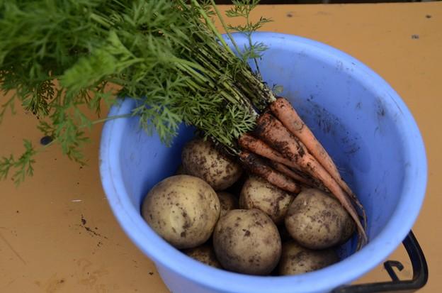 5月28日、収穫(ジャガイモ[とうや]とニンジン)