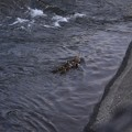 Photos: 6月10日、夕暮れの堰を登るカルガモ親子?