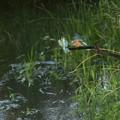 6月24日早朝、カワセミの給餌(1)