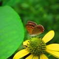 シジミ蝶と蜂と蜘蛛