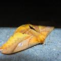 最近であった美しい蛾
