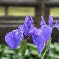 Photos: 秋の紫3