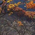 冬桜と紅葉の山