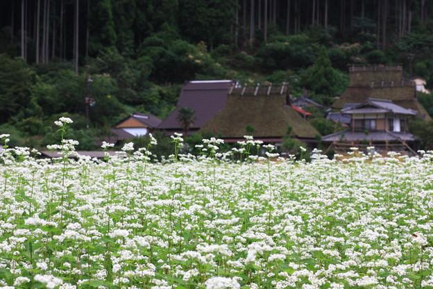 萱葺きと蕎麦の花