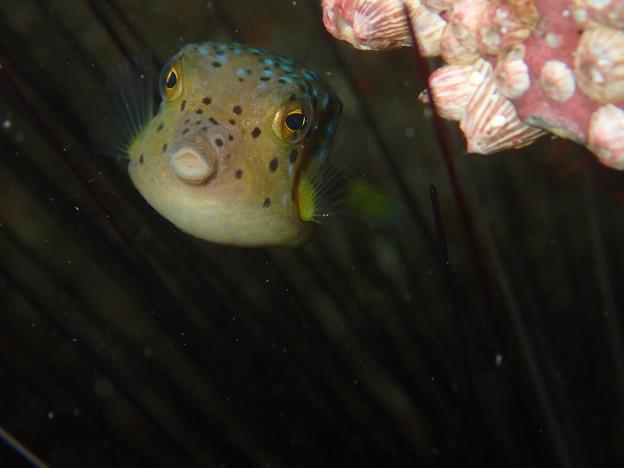 ハコフグの幼魚、、うん!こちらもチョーかわいい!(やっぱりガンガゼの中だ)