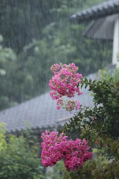 雨とサルスベリ♪