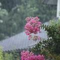 Photos: 雨とサルスベリ♪