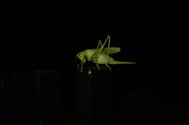 真夜中のキリギリス