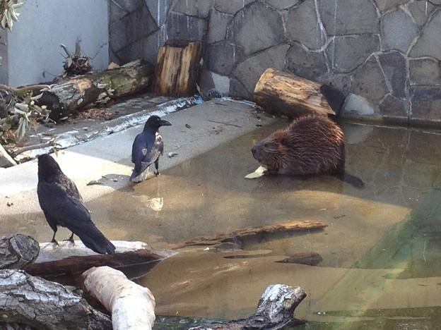 東山動植物園_06:ビーバーとその餌を狙うカラス