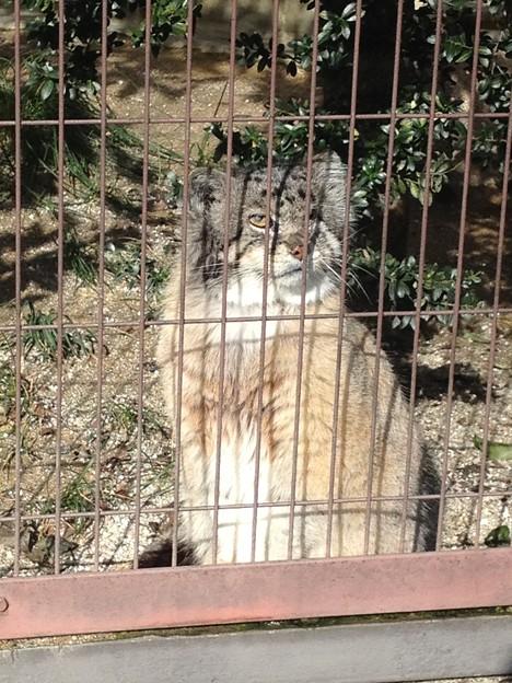 東山動植物園_12:マヌルネコ