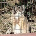 写真: 東山動植物園_12:マヌルネコ
