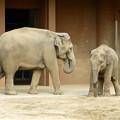 Photos: 東山動植物園(2015年9月)No - 16:アジアゾウの親子