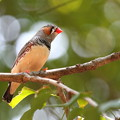 Photos: 野鳥っぽいキンカちゃん