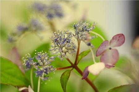 アマチャズルの花