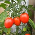 7/9のトマト、割れてない子