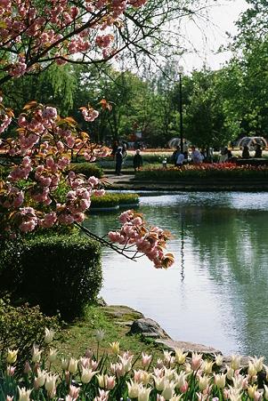 Cherry_blossom_CONTAX159MM_FUJI_Provia100F05052011