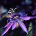 情熱の花........