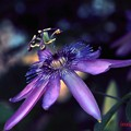 Photos: 情熱の花........