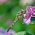 写真: 紫陽花トンボ