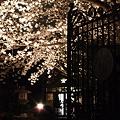 写真: 本誓寺の夜桜 02