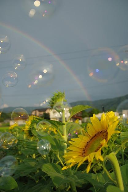 ヒマワリと虹とシャボン玉