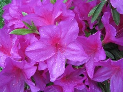 皐月の花 1