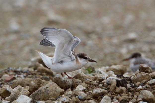 コアジサシ幼鳥(5)FK3A9092